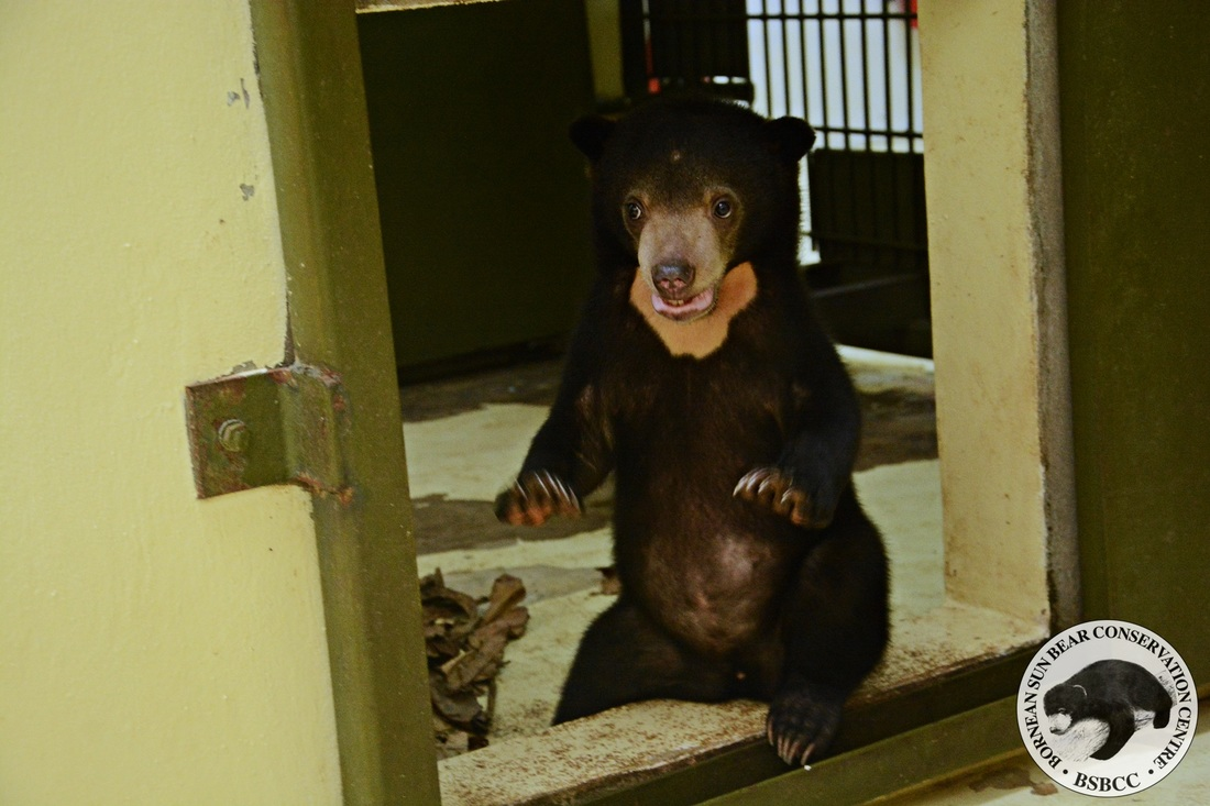 Three weeks after his rescue and this little Noah is grown into a healthy and strong bear