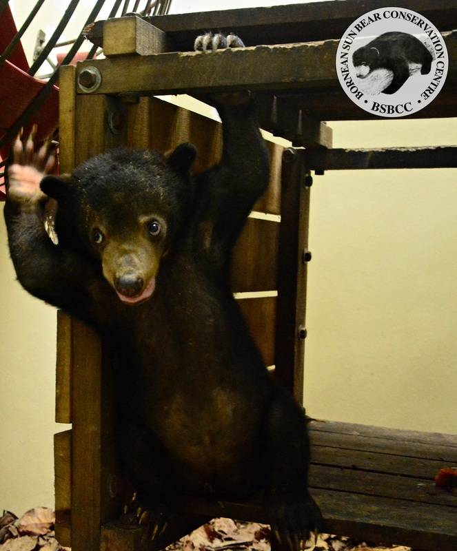 He grown into a playful and sweet natured Bornean Sun Bear