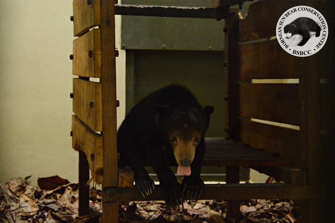 Showing us just glimpse of the sun bear tongue, happy to leave his past life behind